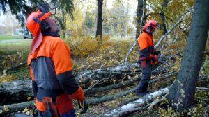 Hans Rönn och Erik Österåker avverkar stormfällda träd.
