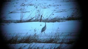 En ensam trana hade anlänt till Ruskis i blå stund. Fotograferad genom fågelskådartub