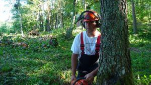 Tom Asplund fäller träd