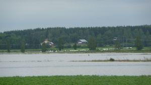 Översvämmad odling i Kristinestad.