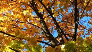 Höstlöven på träden i vasa