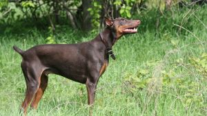 En Dobermann Pinscher