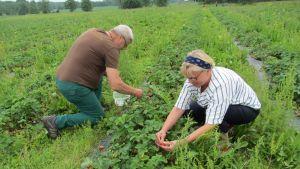 Susanna och Kyösti Lehtomäki hör till stamkunderna som i flera års tid har kommit till Lill-Breds för att plocka jordgubbar.