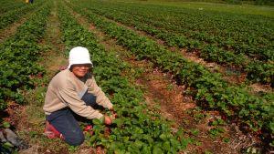 Thian Daengna trivs med arbetet som bärplockare