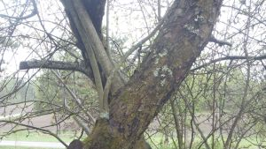 äppelträd med avskuren gren