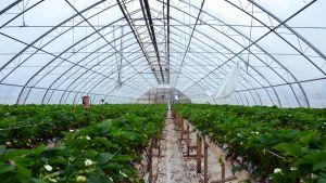 Ett växthus med jordgubbsplanttor i Pargas.