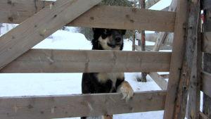 Lapinporokoira Saape päätti katsella tällä kertaa poroja turvallisen matkan päästä aitauksen ulkopuolelta.