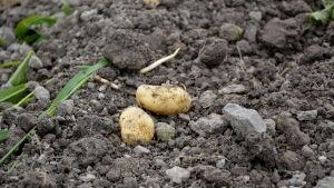 Potatisar på en åker