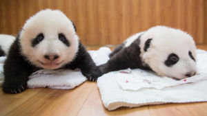 Kiinassa pyritään auttamaan isopandaa tämän rakastetun lajin kamppaillessa sukupuuttoa vastaan.