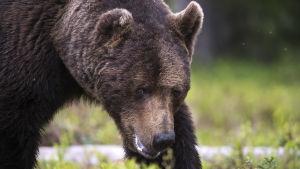 Lähikuva karhusta