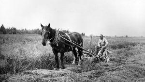 En svartvit bild av skörd med en man och en häst