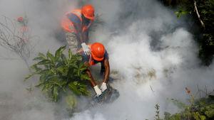 Besprutning i Dominikanska republiken i syfte att avlägsna zetavirus hos myggor.