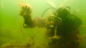 Christoffer Boström dyker och tittar på trådalger i vattnet
