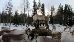 Wirkkusen porotilan eläimet talviruokinnalla Taivalkoskella.