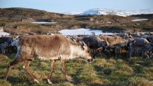 Under kalvemerking i Gabna sameby i Nord-Sverige