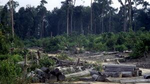 Skövlad regnskog i Indonesien.