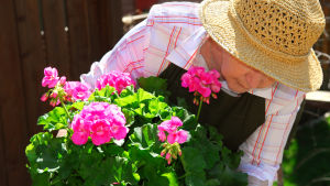 Äldre dam sköter om en pelargon.