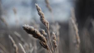 Frost, spannmål
