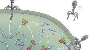 Illustration av CRISPR/Cas 9 mekanismen hos bakterier.