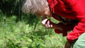 Äldre dam plockar och äter blåbär.