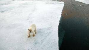 Isbjörn i Arktis.