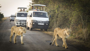 Leijonia Nairobin kansallispuistossa.