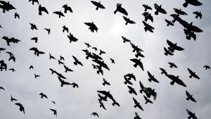 kyyhkyjä lentää harmaalla taivaalla