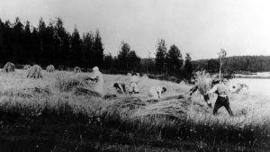 Människor fotograferade under skördetiden i Laukaa 1888