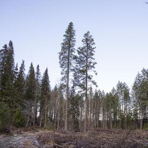 Kontortamäntyjä Mustilan Arboretumissa.
