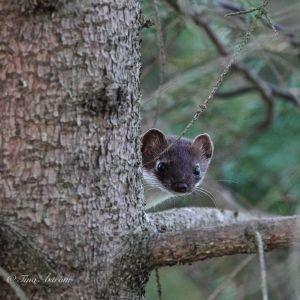 En hermelin kikar fram bakifrån ett träd.