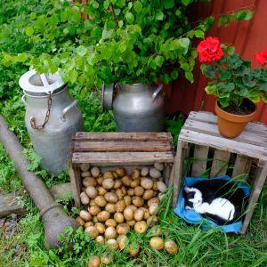 Kesäinen piha, jossa kissa nukkuu puulaatikossa, vieressä uusia perunoita, kesäkukkia, vihreää nurmikkoa