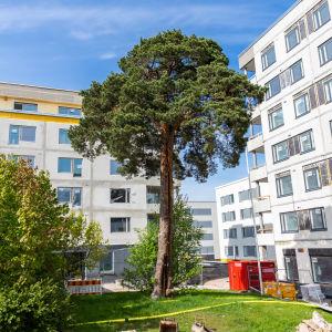 Helsingin Laajasalossa seisoo mänty, joka on ainoa pääkaupunkiseudulla tiettävästi säilynyt pyhä uhripuu. Mänty kuvattu 26.5.2021