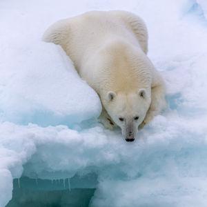 Jääkarhu katsoo veteen jäätikön reunalla.