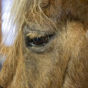 Hevonen Harjun oppimiskeskuksen tallissa.
