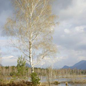 En glasbjörk.(Betula pubescens)