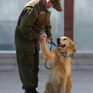 En polishund i Chile med sin tränare.