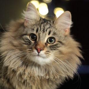 Kirjavaturkkinen ja pörrökauluksinen kissa Hiski katselee suoraan kameraan