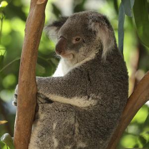 Koala på ett zoo i Belgien