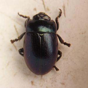 Kuvassa on uhanalainen kärsämökuoriainen.