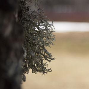 Närbild av skägglav på en trädstam