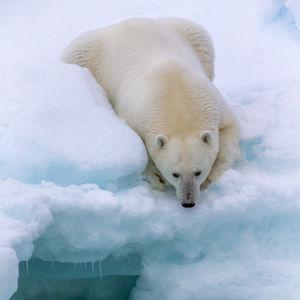 Jääkarhu lepää jäälautalla.