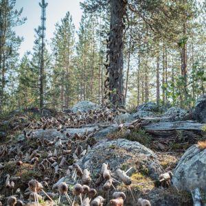 Satoja käpylehmiä maassa ja kiipeämässä mäntyyn, taideteos