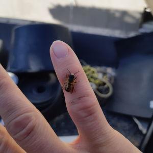 Ett bi sittande på ett finger.