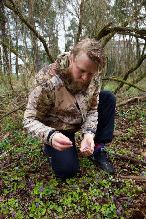 Mies poimii violettikukkaista litulaukkaa metsässä.
