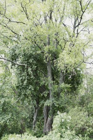 Iso vihreä lehtipuu metsässä (tarkka puulaji ei tiedossa)