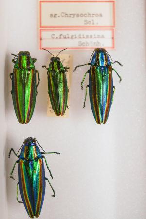 Praktbaggar i Naturhistoriska museets samlingar i Helsingfors.