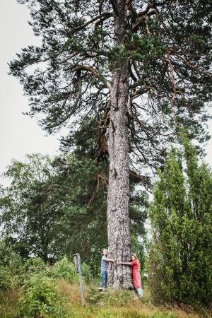 Enorm fura, en man och en kvinna står och kramar trädstammen.