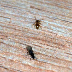 Vad är de gulbruna myrorna, och de bevingade svarta? undrar Victoria.