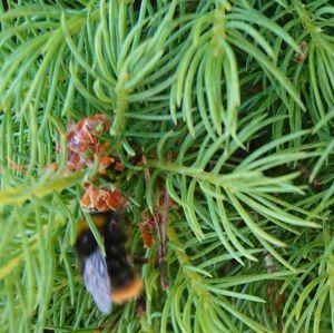Två humlor bland färska granskott, två närbilder av barr och närbild på insekt.
