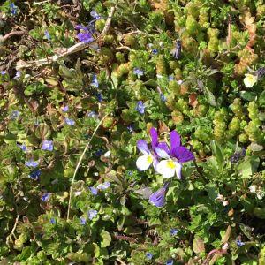 Lilafärgade och blåa blommor på marken.